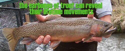 the earbones of trout can reveal their lifetime movements